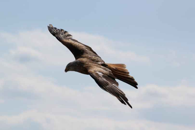 brown and grey eagle